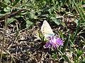 Fleur sauvage et papillon (2).JPG