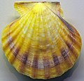 Flexopecten glaber (bald scallop) 1.jpg