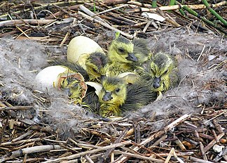 Flickr - Oregon Department of Fish & Wildlife - canada goslings kitchen odfw.jpg