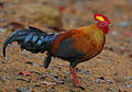 Flickr - Rainbirder - Ceylon Junglefowl (Gallus lafayetii) Male.jpg