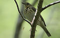 Flickr - Rainbirder - Tree Pipit (Anthus trivialis).jpg