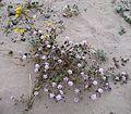 Flickr - brewbooks - Abronia villosa (Desert sand-verbena).jpg
