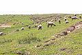 Flock of Sheeps at Lalazar.jpg