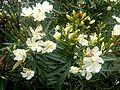 Flor blanca 2.JPG