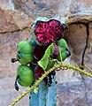 Flor de Mandacaru - Chapada Diamantina.jpg