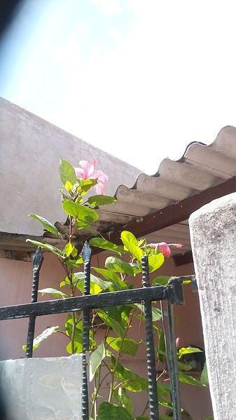 File:Flor de Tulipán (Yucatán) - 1.jpg