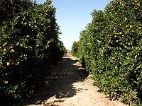 Florida orange grove.JPG