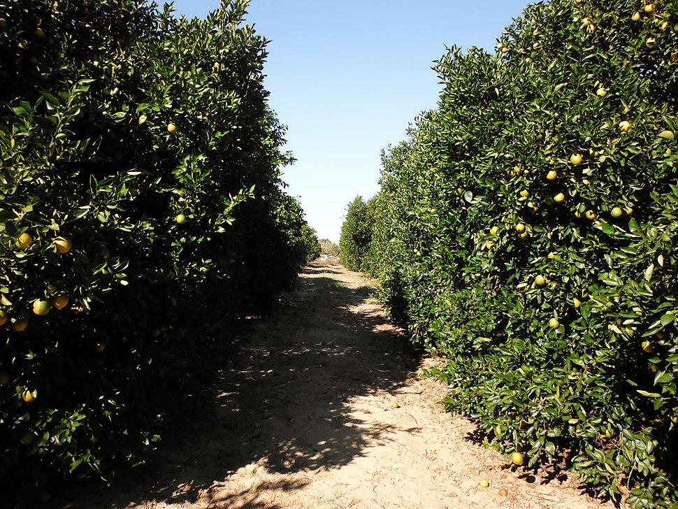 Florida orange grove