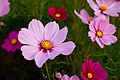 "Flower, Cosmos ""Radiance"" - Flickr - nekonomania (1).jpg"
