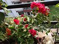 Flower found at Shivapuri National Park 05.jpg