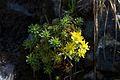 Flowers, Glen Coe (15227905666).jpg