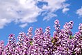 Flowers 14 365 (2534419027).jpg