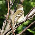 Flycatcher (4609766694).jpg
