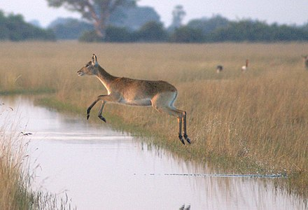 Flying-Lechwe-Okavango.jpg