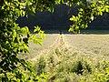 Footpath through barley, Sulham - geograph.org.uk - 848960.jpg