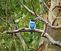 Forest Kingfisher. Todiramphus macleayii (48717319987).jpg