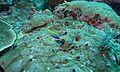 Forktail Blennies (Meiacanthus atrodorsalis) (6133261612).jpg