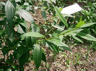 Forsythia suspensa - Image: Forsythia suspensa 1