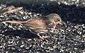 Fox Sparrow (23984572533).jpg