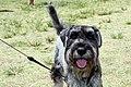 Fox Terrier (6719104373).jpg