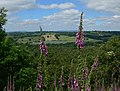 Foxgloves at Kinver Edge - geograph.org.uk - 847995.jpg