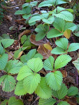 Musk strawberry - Leaves