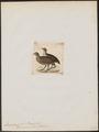 Francolinus swainsoni - 1820-1863 - Print - Iconographia Zoologica - Special Collections University of Amsterdam - UBA01 IZ17100019.tif