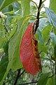 Franklinia alatamaha (Franklin Tree) (36611037706).jpg