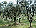 Frankreich-Olivenhain.jpg