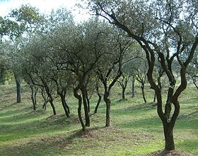 Image illustrative de l'article Huile d'olive de Provence AOC