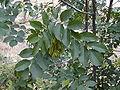 Fraxinus ornus2.JPG