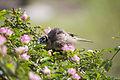 Friarbird 10 (23137179863).jpg
