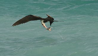 Great frigatebird - An immature great frigatebird performing a surface snatch on a sooty tern chick dropped by another bird