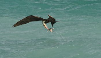 Frigatebirds obtain most of their food by snatching it from the ocean surface. In this case an immature Great Frigatebird is snatching a Sooty Tern chick dropped by another frigatebird