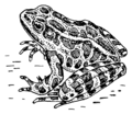 Frog (PSF).png