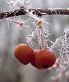 Frosted Berries 4 (5238128018).jpg