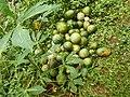 Fruit de Cucumeropsis mannii.jpg