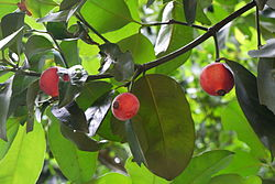 Fruits of Garcinia hombroniana.JPG