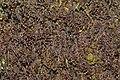 Frullania tamarisci (a, 144607-474851) 2056.JPG