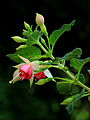 Fuchsia 'Canny Boy'.JPG