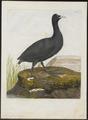 Fulica atra - 1790-1796 - Print - Iconographia Zoologica - Special Collections University of Amsterdam - UBA01 IZ17500219.tif