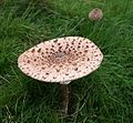 Fully Opened Parasol Mushroom - geograph.org.uk - 584138.jpg