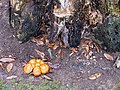 Fungus by decaying stump - geograph.org.uk - 1577194.jpg