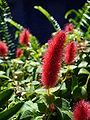 Fuzzyflower.jpg