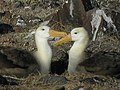 Galapagos-Albatros-2.jpg