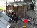 Gallos en restaurante 10.JPG