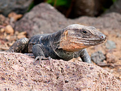 Gallotia stehlini -Gran Canaria, Canary Islands, Spain-8.jpg