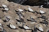 Alcatraces en Muriwai;  adultos y un pájaro joven