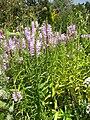 Gardenology-IMG 7850 hunt10aug.jpg