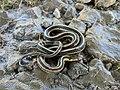Garter Snake (37741563212).jpg
